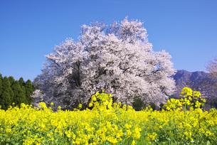 一心の大桜