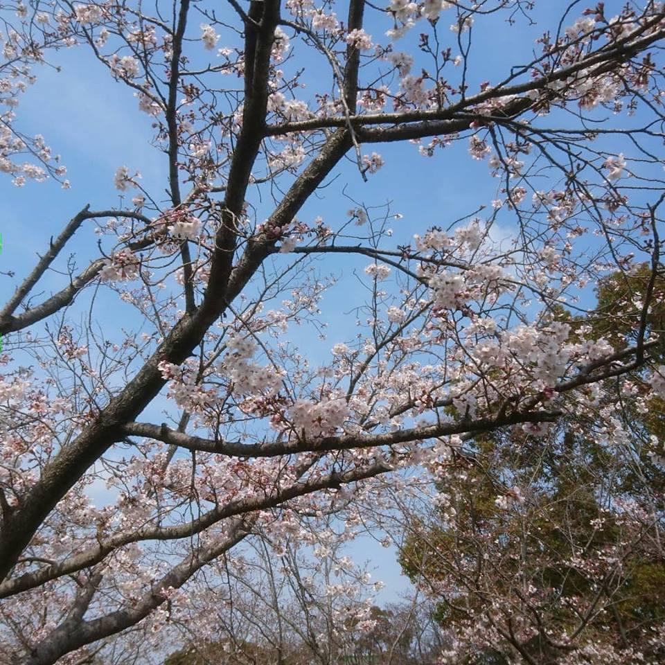 中央公園桜